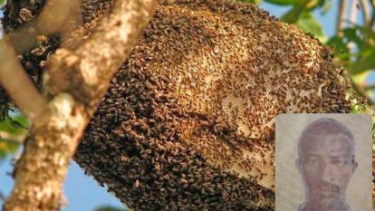 Un panal de abejas africanizadas y la víctima mortal.