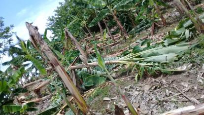 Vendaval arrasa con 300 hectáreas de plátano en Moñitos