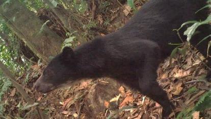 "Indignación por indígena que mató a oso de anteojos para ""alimentarse"" en Arauca"