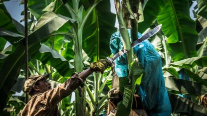 Plantación de bananos.