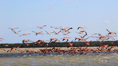 Un grupo de flamencos rosados volando por la laguna Navío Quebrado, en Camarones.