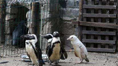 El bebé pingüino albino permanece junto a sus padres y otros cuatro pingüinos.