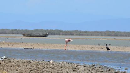La sequía ha alejado a los flamencos rosados en Riohacha