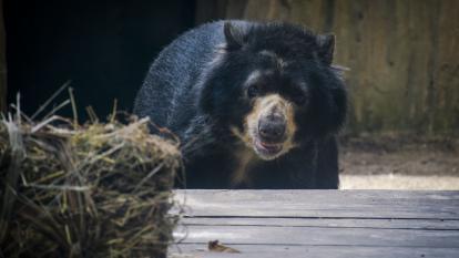 Nueva fecha define el futuro del oso Chucho