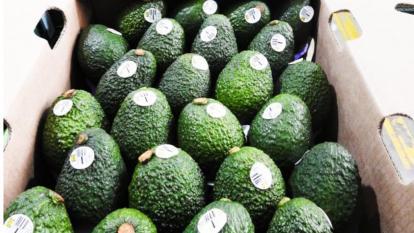 Aguacate hass de exportación producido en Colombia.