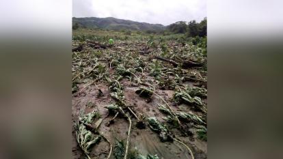 El fuerte aguacero de ayer en Chalán desbordó un arroyo que arrasó dos hectáreas de cultivos de tabaco y yuca en la vereda Rancho Rojo.