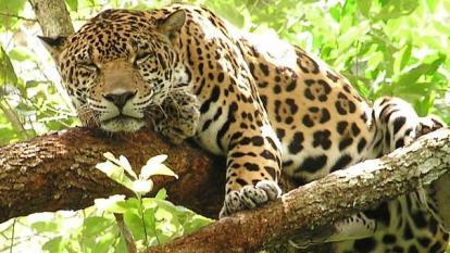 Corpamag busca proteger al jaguar de la Sierra Nevada
