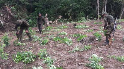 Piden acompañamiento humanitario para erradicación de hoja de coca en Córdoba