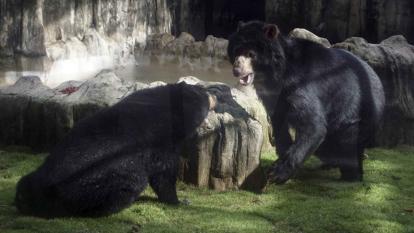 Oso Chucho mientras interactúa con su compañera en el Zoológico de Barranquilla.