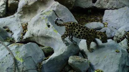 Detectan cachorro de jaguar en el nuevo cauce de arroyo Bruno