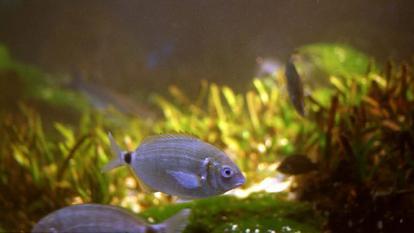 Microplástico, ingrediente letal que acaba con la vida de los peces