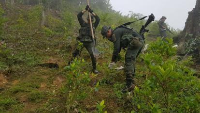 Identifican siembra de coca en 22 municipios de la Costa