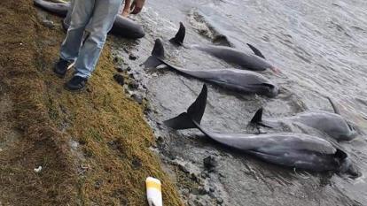 Tragedia ambiental en Isla Mauricio deja 25 delfines muertos