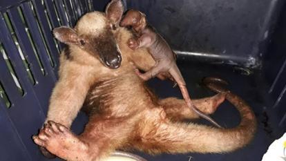 El oso hormiguero que nació en Riohacha fue liberado junto a su madre