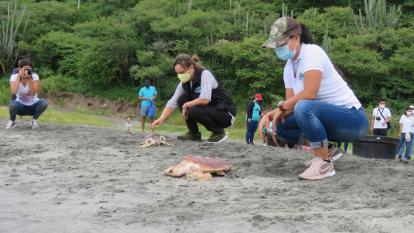 80 tortugas marinas ingresaron a su hábitat en Santa Marta