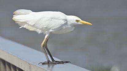 Avistamiento y registro de aves en Barranquilla para el October Big Day 2020