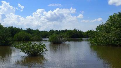 Avanza restauración activa de manglar en la Ciénaga Grande