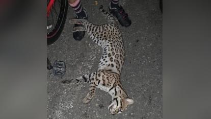 Otro felino perdió la vida en las carreteras de Córdoba
