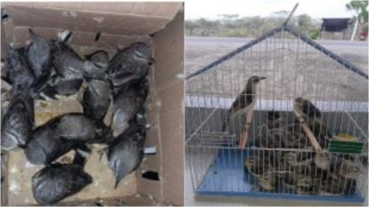 Decomisan en La Guajira 34 aves que iban a ser comercializadas