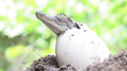 En Santa Marta nacieron 31 caimanes aguja rescatados por Corpamag