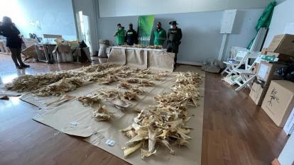 Incautan 3.493 aletas de tiburón en aeropuerto El Dorado que iban a China