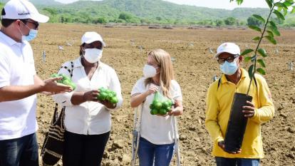 Siembra de limón tahití genera productividad en 70 hectáreas del Atlántico: Noguera