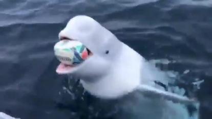 En video   Divertido momento en que ballena juega al balón con un marinero