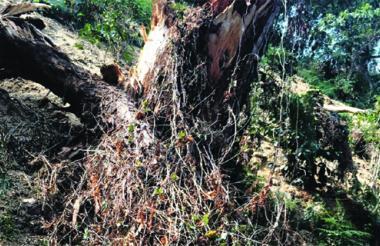Este es uno de los árboles talados en 'La Victoria'.