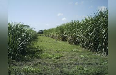 Cultivos de caña de azúcar.