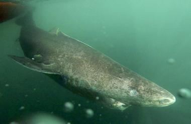 Vertebrado más longevo al tiburón de Groenlandia, un misterioso animal que llega a vivir unos 400 años.