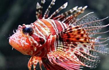 El pez león es una de las especies invasoras del Caribe.