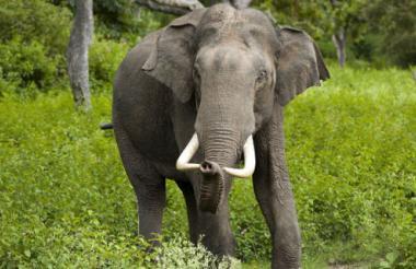 Elefante de Sumatra.