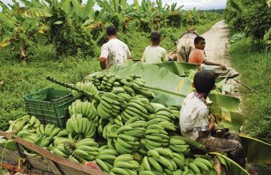 La subida del precio del dólar ha impctado de forma positiva al sector bananero.