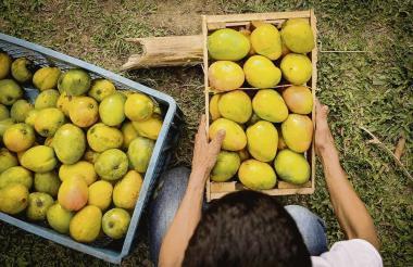 Exportación del mango