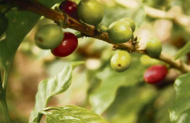 En lo corrido de 2016 la cosecha cafetera llegó a 11,3 millones de sacos de 60 kg.