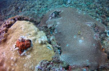 El coral cerebro fue uno de las encontrados en Puerto Caimán. Esta especie es resistente a la pérdida de hábitat.