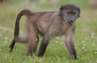 Así luce un mono babuino.
