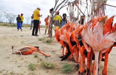 Flamencos que murieron recientemente en Uribia, La Guajira.