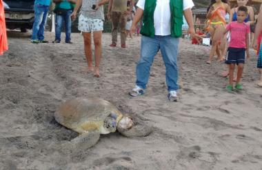 El la playa de Palomino, en Dibulla, fue encontrada la tortuga verde.