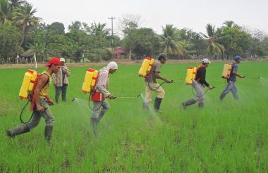 Labriegos fumigan un cultivo de arroz en uno de las fincas de Córdoba.