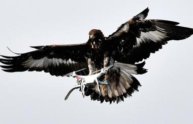 Una de las cuatro águilas entrenadas durante uno de los ejercicios de este viernes.
