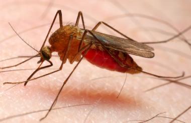 Mosquito transmisor de malaria.