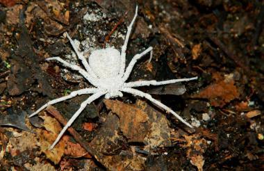 Sicarius Vallenato, es una nueva especie de araña que solo se encuentra en el Cesar y La Guajira.