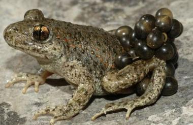 La rana del sur de la India la cual puede ser la cura para el virus de la influenza H1.