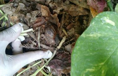 Búsqueda del caracol africano.