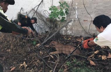 Momento en que las autoridades  ambientales  lograron anestesiar al puma.