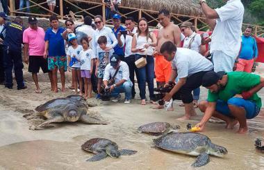 Tortugas carey regresando a su hábitat.