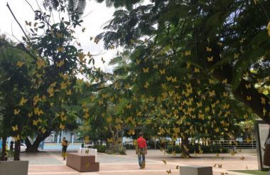Las mariposas amarillas en los jardines de la Plaza de la Paz.
