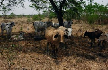 Este virus solamente afecta a los bovinos, porcinos, ovinos, caprinos y otras especies, explicó el ICA.