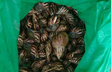 Las primeras 250 unidades de caracol gigante africano fueron halladas en el bario Portal de Almería.